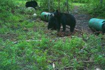 Chasse à l'ours : la technique à deux barils