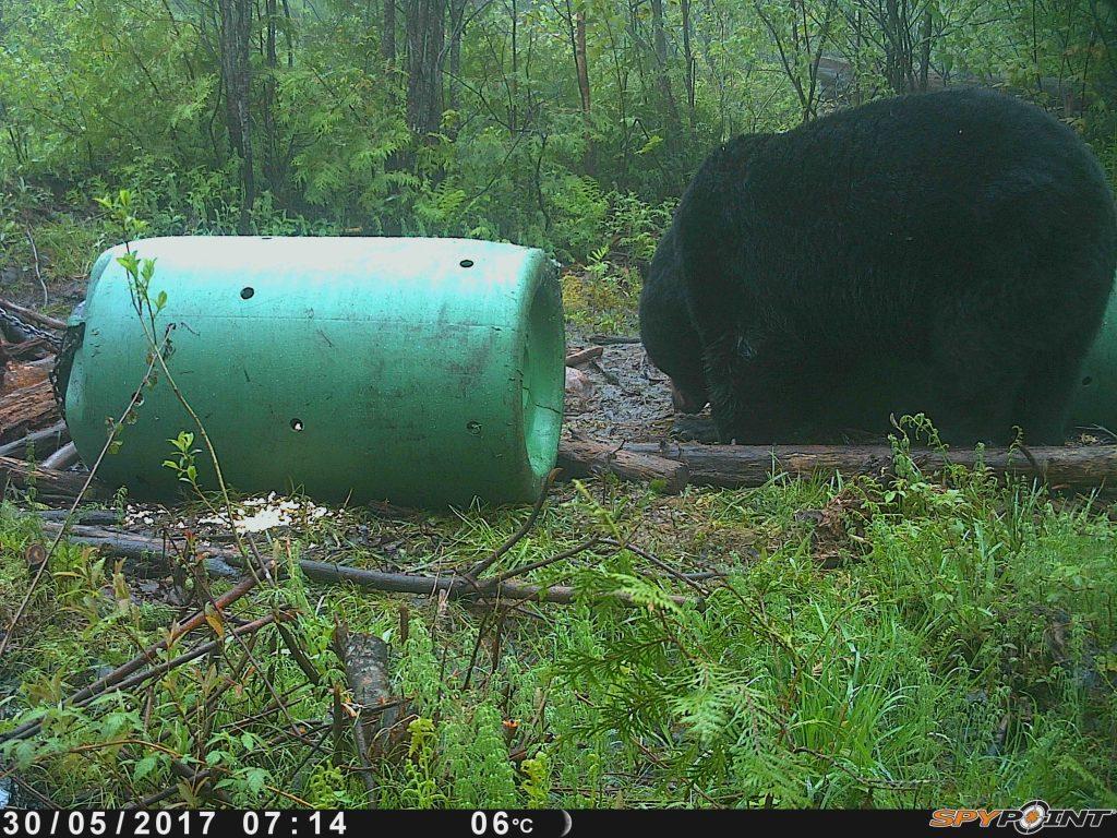 Chasse à l'ours : comment identifier un mâle mature