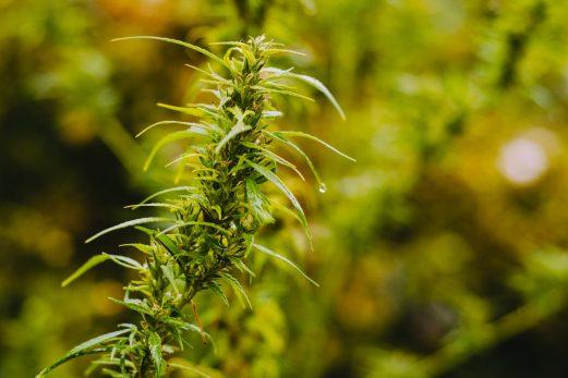 Du cannabis récréatif bientôt produit dans la région?